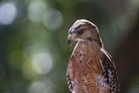 Portrait Of A Perched Hawk Fine-Art Print