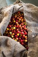Harvested Coffee Cherries In A Burlap Sack, Hawaii Fine-Art Print