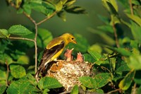 American Goldfinch With Nestlings At Nest, Marion, IL Fine-Art Print