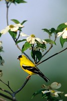American Goldfinch In A Dogwood Tree, Marion, IL Fine-Art Print