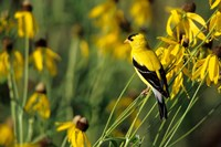 American Goldfinch On Gray-Headed Coneflowers, Marion, IL Fine-Art Print