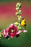 American Goldfinch On Hollyhock, Marion, IL Fine-Art Print
