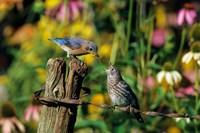 Eastern Bluebird Feeding Fledgling On Fence Fine-Art Print