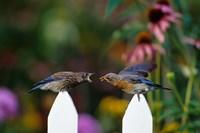 Eastern Bluebird Feeding Fledgling  A Worm, Marion, IL Fine-Art Print