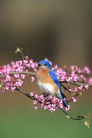 Eastern Bluebird In Redbud Tree, Marion, IL Fine-Art Print