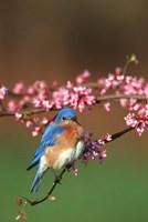 Eastern Bluebird N Redbud Tree In Spring, Illinois Fine-Art Print