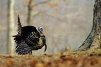 Eastern Wild Turkey Strutting, Illinois Fine-Art Print