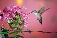 Ruby-Throated Hummingbird Near Garden Phlox Fine-Art Print