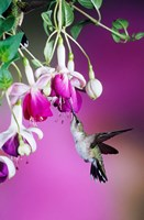 Ruby-Throated Hummingbird Near Hybrid Fuchsia Fine-Art Print
