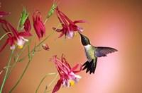 Ruby-Throated Hummingbird On Crimson Star Columbine Fine-Art Print