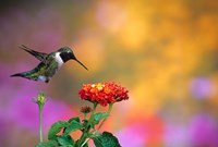 Ruby-Throated Hummingbird At Dallas Red Lantana Fine-Art Print
