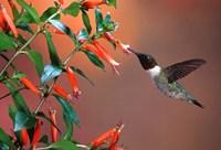 Ruby-Throated Hummingbird At Cigar Plant Fine-Art Print