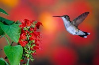 Ruby-Throated Hummingbird On Scarlet Sage Fine-Art Print
