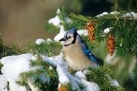 Blue Jay In Winter Spruce Tree Fine-Art Print