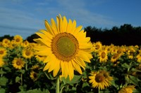 Common Sunflower Field, Illinois Fine-Art Print