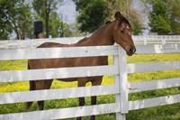 Horse At Fence, Kentucky Fine-Art Print