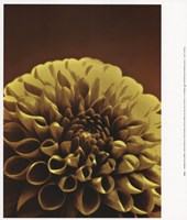 Chocolate Dahlia II Fine-Art Print