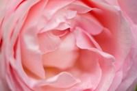 Close-Up Of A Pink Pierre De Ronsard Rose Fine-Art Print