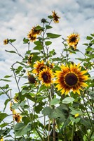 Tall Sunflowers In Cape Ann, Massachusetts Fine-Art Print