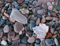 Maple Leaf And Rocks Along The Shore Of Lake Superior Fine-Art Print