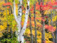 Hardwood Forest In Autumn Fine-Art Print