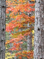Fall Pine Trees In The Forest, Michigan Fine-Art Print