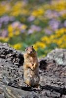 Columbia Ground Squirrel Close-Up Fine-Art Print
