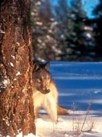 A Gray Wolf On The Alert In Winter Fine-Art Print