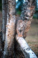 Bobcat On A Fallen Birch Limb Fine-Art Print