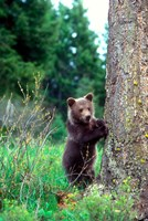 Grizzly Bear Cub Leaning Against A Tree Fine-Art Print