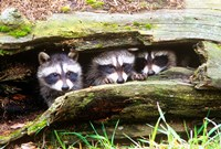 Three Young Raccoons In A Hollow Log Fine-Art Print