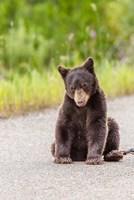 Bear Cub On Camas Road Fine-Art Print
