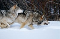 Gray Wolves Running In Snow, Montana Fine-Art Print