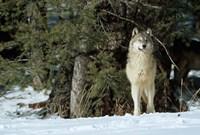 Gray Wolf In Winter, Montana Fine-Art Print