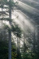 Sun Rays Shining Through Foggy Pine Trees Fine-Art Print