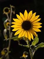 Backlit Sunflower, Santa Fe, New Mexico Fine-Art Print