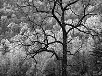 Tree Caught In Dawn's Early Light, North Carolina (BW) Fine-Art Print
