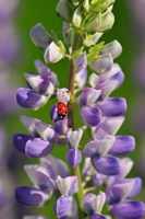 Ladybug On A Lupine Flower Fine-Art Print