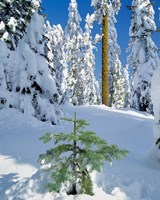 Scenic Of New Snow On Forest, Oregon Fine-Art Print