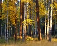 Aspen And Ponderosa Trees In Autumn, Deschutes National Forest Fine-Art Print
