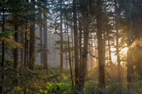 Sunset Rays Penetrate The Forest In The Siuslaw National Forest Fine-Art Print