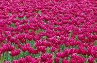 Field Of Purple Tulips In Spring, Willamette Valley, Oregon Fine-Art Print
