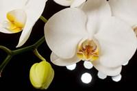 White Hybrid Orchids On Black Fine-Art Print