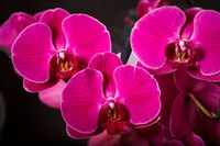 Purple Hybrid Orchids On Black Fine-Art Print