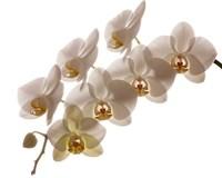 White Hybrid Orchids On White Fine-Art Print