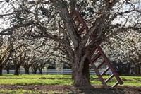 A Ladder In An Orchard Tree, Oregon Fine-Art Print