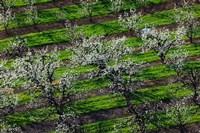 Rows Of Orchard Trees, Oregon Fine-Art Print