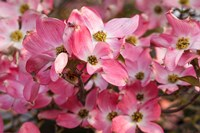 Pink Flowering Dogwood Fine-Art Print