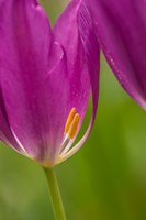 Detail Of Purple Tulips Fine-Art Print