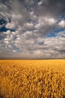 Summer Morning Wheat Fields, South Dakota Fine-Art Print